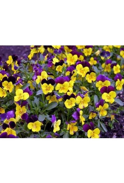 Tunç Botanik Hercai Menekşe 40 Adet - Saksıda Mevsimlik Çiçek