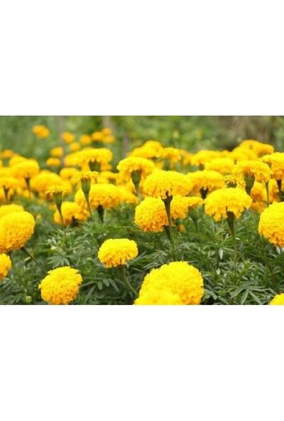 Tunç Botanik Kadife Çiçeği 20 Adet - Saksıda Hediyelik