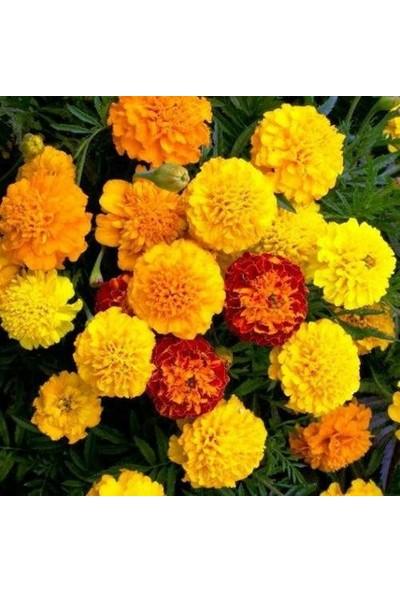 Tunç Botanik Kadife Çiçeği 10 Adet - Saksıda Hediyelik
