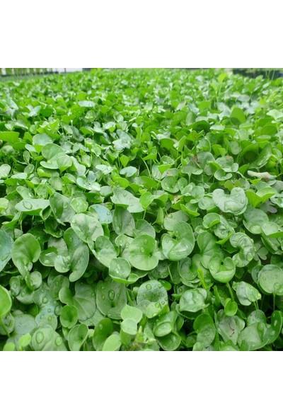 Green King Fare Kulağı Çim Tohumu 500 g
