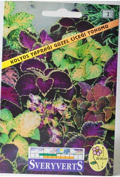 Sveryverts Kolyos Yaprağı Güzel Çiçeği Tohumu