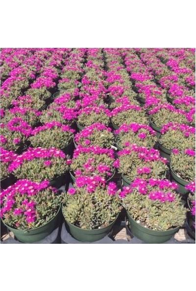 Tunç Botanik Acem Halısı 40 Adet - Çiçekli Yer Örtücü Bitki
