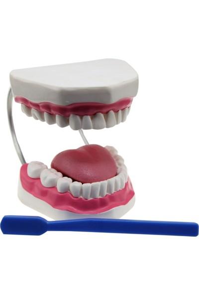 Edu Toys Diş Fırçalama Modeli