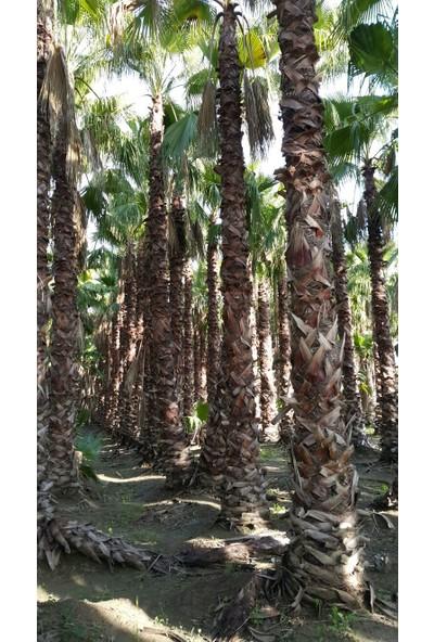 Best Palm Washingtonia Robusta Palmiye Ağacı 3 m