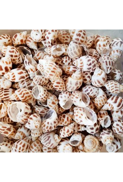 Tahtakale Toptancısı Babylonia Areolata Kiloluk Deniz Kabuğu 1 Kg