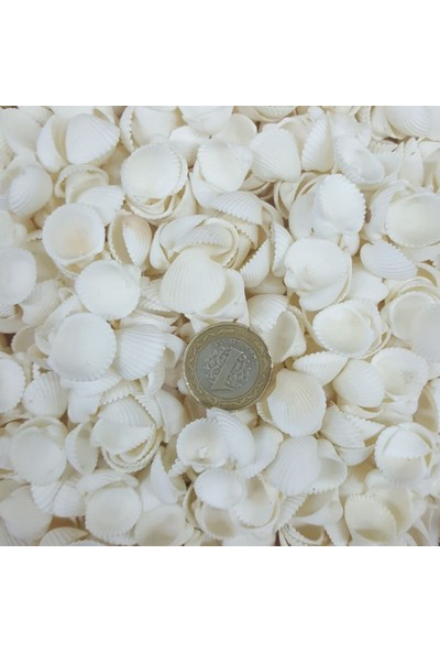 Tahtakale Toptancısı Clam Rose Cochles -Orta Kiloluk Deniz Kabuğu 1 Kg