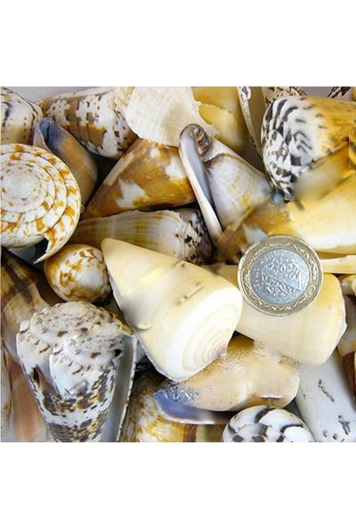 Tahtakale Toptancısı Conus Mı x Ed Kiloluk Deniz Kabuğu 1 Kg