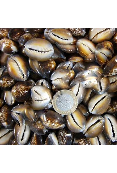 Tahtakale Toptancısı Cyprea Caputserpentis Kiloluk Deniz Kabuğu 1 Kg