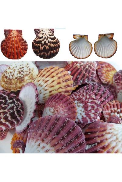 Tahtakale Toptancısı Pecten Phallıum Kiloluk Deniz Kabuğu 1 Kg