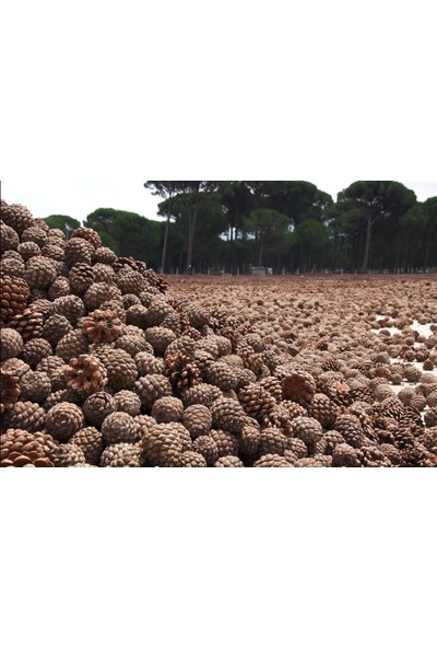 Ege Naturel Çam Fıstığı Künar 100 gr
