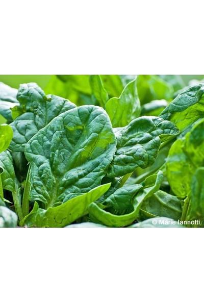 Arzuman Matador Ispanak Geniş Yaprak İthal 10 g