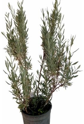 Armen Botanik Saksıda Lavanta Lavandula Bi̇tki̇si̇ 90 cm