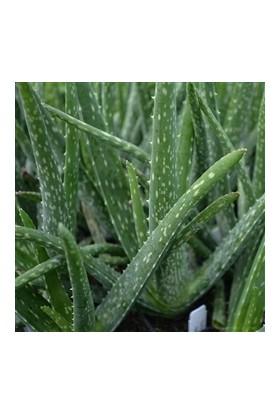 Toru Bahçe Aloevera Bitkisi 25-35 cm Doğal Krem Şifalı Bitki Sarısabır