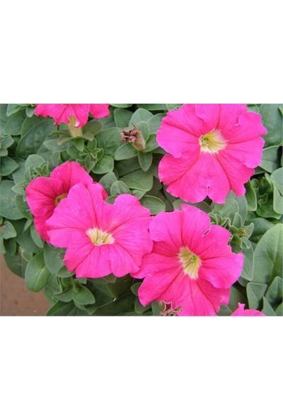 Vilmorin Pembe Renkli Kısa Petunya Çiçek Tohumu