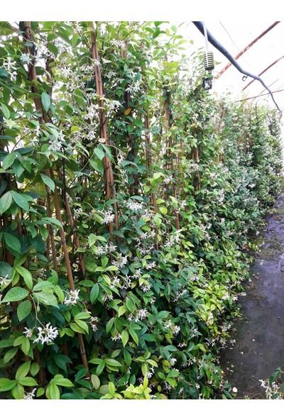 Tunç Botanik Arap Yasemini - Çiçekli Kokulu Sarılıcı Bitki 1.5 Metre