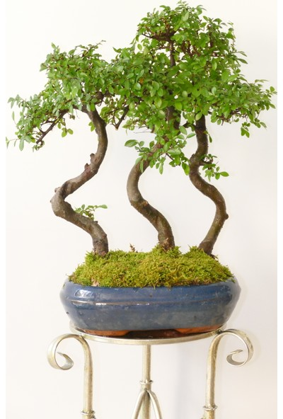 Afloday Zelkova Bonsai Ormanı