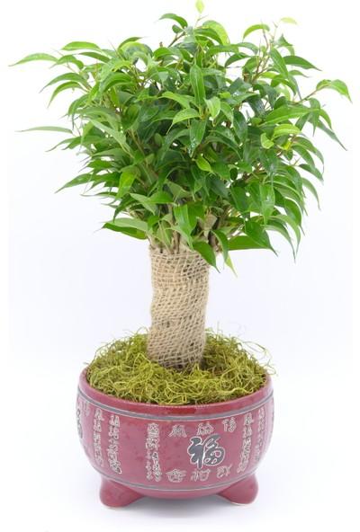 Afloday Ficus ( Benjamin) Bonsai
