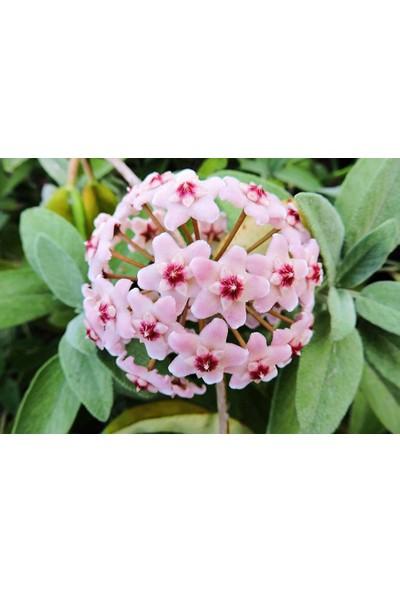 Bahçe Life Mum Çi̇Çeği̇ Hoya Tohumu + Çi̇Mlendi̇Rme Seti̇