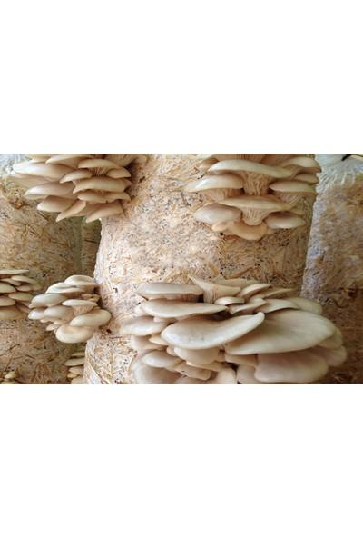 Tohumcu Kikizade Beyaz İstiridye Mantarı Tohumu 1 kg
