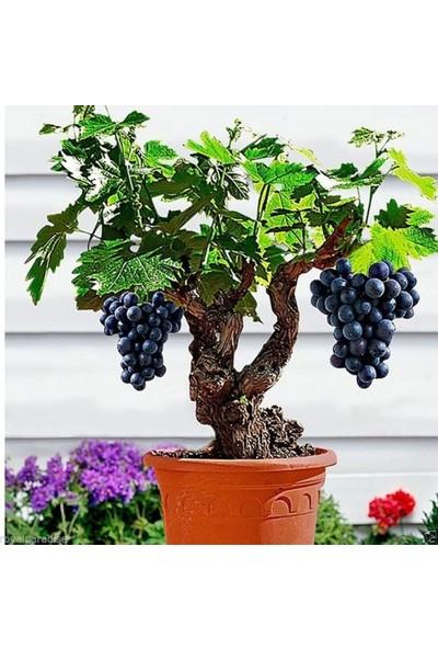 Bahçe Li̇fe Bonsai̇ Yapılabilir Bodur Si̇yah Üzüm Ağacı Tohumu + Çi̇mlendi̇rme Seti̇