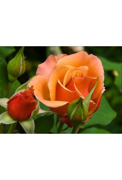 Bahçe Li̇fe Kokulu Aşk Gülü Tohumu + Çi̇mlendi̇rme Seti̇