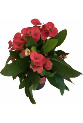 Armenbotanik Euphorbia Milii Dikenler Tacı