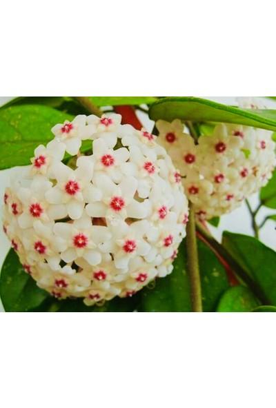 Akdeniz Tarım 1 Metre Hoya Carnosa Kokulu Mum Çiçeği Bitkisi