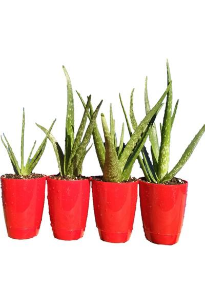 Toru Bahçe Aloe Vera Bitkisi-Jel Için Doğal Krem Şifalı Bitki Sarısabır
