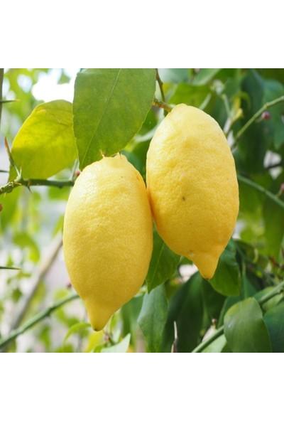 İdeasepet Tüplü Yöresel Aydın Limon Fidanı