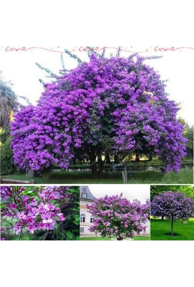 İdeasepet Tüplü Leylak Lilac Fidanı