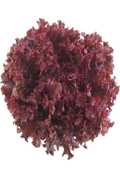 İdeasepet Naturel Kırmızı Kıvırcık Marul Tohumu (100 Tohum)
