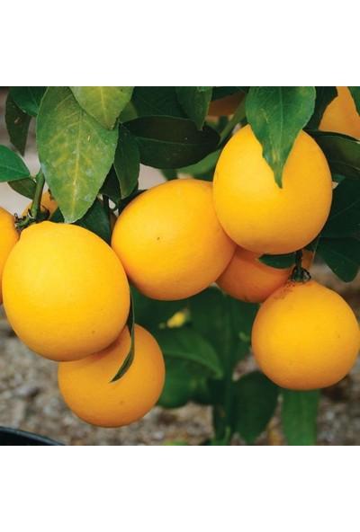 İdeasepet Tüplü Yarı Bodur Soğuklara Dayanıklı Mayer Limon Fidanı
