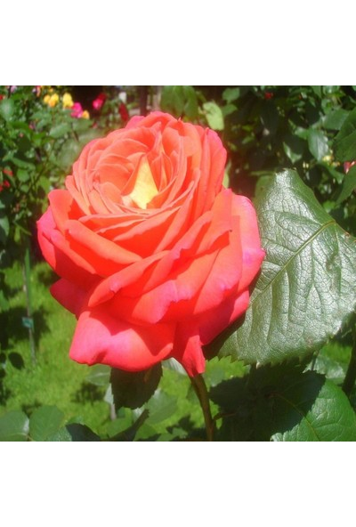 İdeasepet Tüplü Yediveren Königin Der Rosen Gül Fidanı