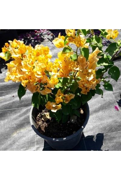 İdeasepet Tüplü Sarı Çiçek Açan Begonvil Fidanı