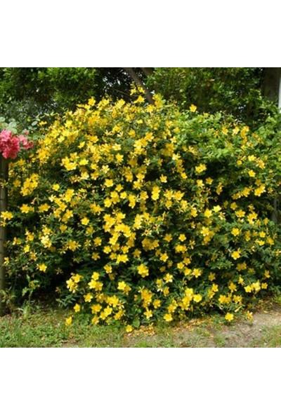 İdeasepet Tüplü İntense Yellow Yasemin Fidanı