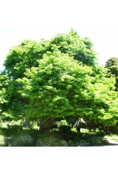 İdeasepet Tüplü Sığla Ağacı Fidanı