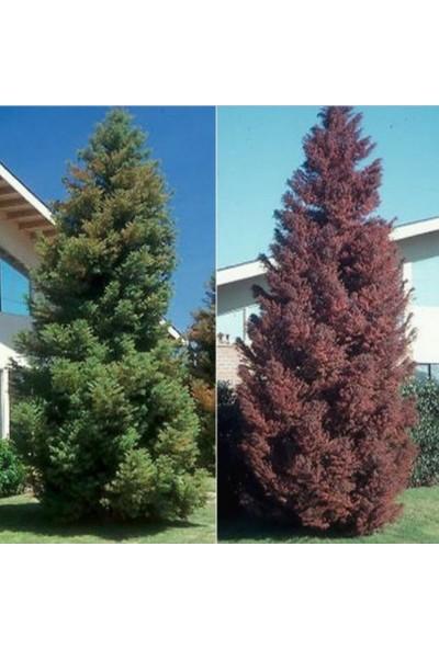 İdeasepet Tüplü Kriptomarya Japon Cedar Ağacı Fidanı