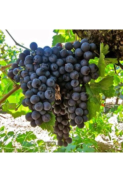 İdeasepet Tüplü Şaraplık Royal Üzüm Fidanı
