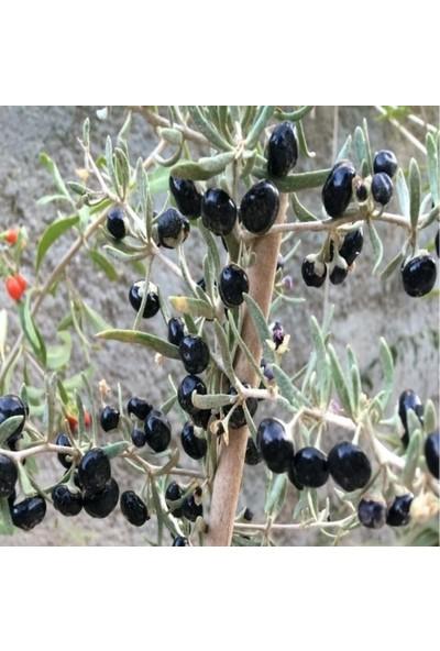İdeasepet Tüplü Kendiliğinden Yetişen Black Goji Berry Fidanı