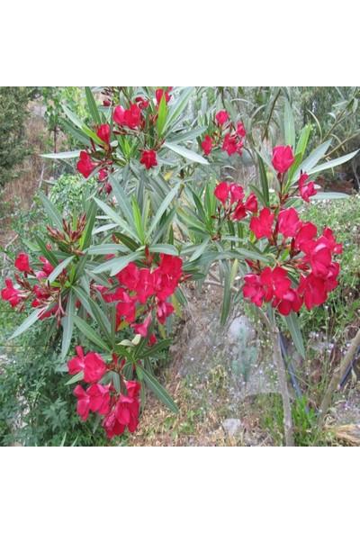 İdeasepet Tüplü Assato Kırmızı Çiçek Açan Zakkum Fidanı