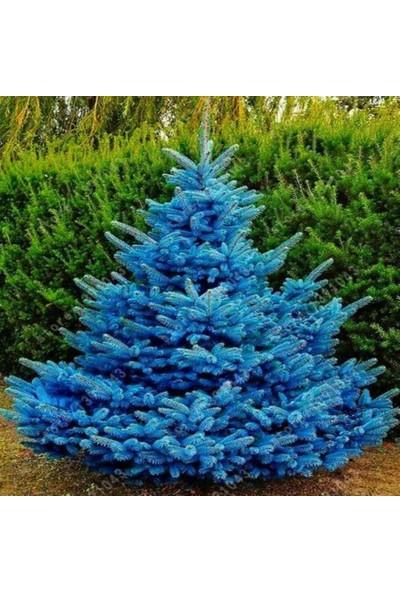 İdeasepet Tüplü Nadir Bulunan Mavi Ladin Fidanı 125-145 Cm