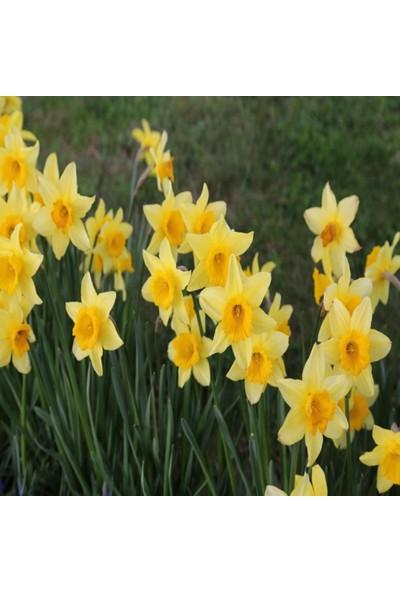 İdeasepet Tüplü Assato Sarı Çiçek Açan Zakkum Fidanı