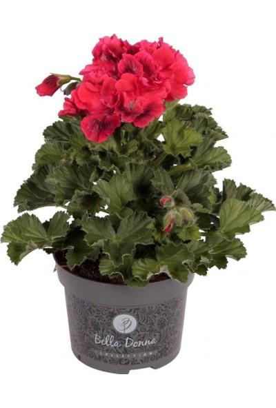 İdeasepet Kırmızı Nekita F1 Scarlet Sardunya Çiçeği Fidesi (5 Adet)