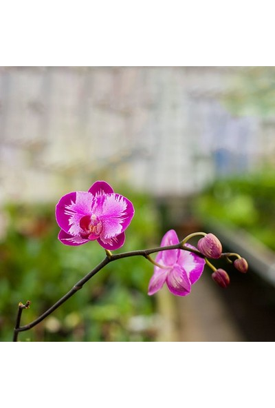Henge İlkbahar Orkide Çiçeği Desenli Duşperdesi