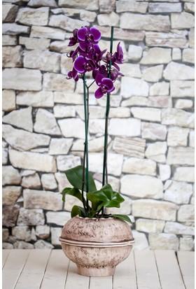 Karadeniz Fidancılık Orkide ( Mor ) Çift Dallı - Kargo Bedava
