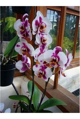 Karadeniz Fidancılık Orkide ( Çilli Orkide ) Çift Dallı
