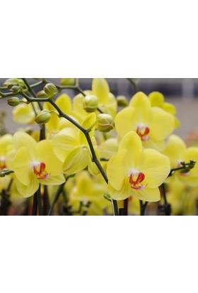 Karadeniz Fidancılık Orkide ( Sarı ) Çift Dallı - Kargo Bedava