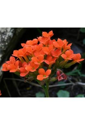 Karadeniz Fidancılık Kalançoe Çiçeği ( Kalanşo ) Turuncu Renkli - Kargo Bedava