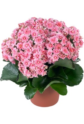 Karadeniz Fidancılık Kalançoe Çiçeği ( Kalanşo ) Pembe Renkli - Kargo Bedava