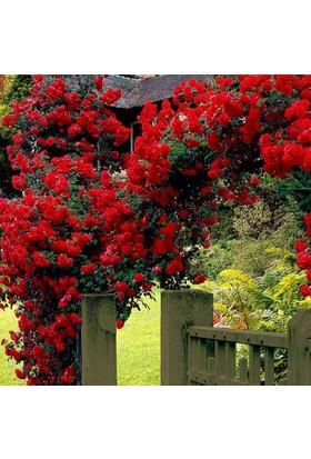 Karadeniz Fidancılık Kokulu Sarmaşık Güller ( Kırmızı ) - Kargo Bedava